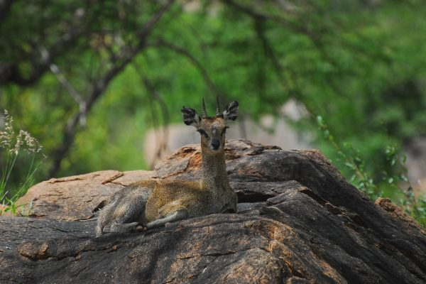 dik-dik-with Serengeti Adventure Safari