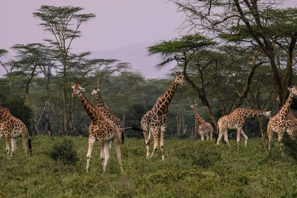 giraffes-Serengeti Adventure Safari